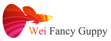 Wei Fancy Guppy