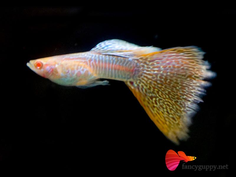 Yellow guppy fish yellow cobra guppy 2017 fish tank for Fancy guppy fish