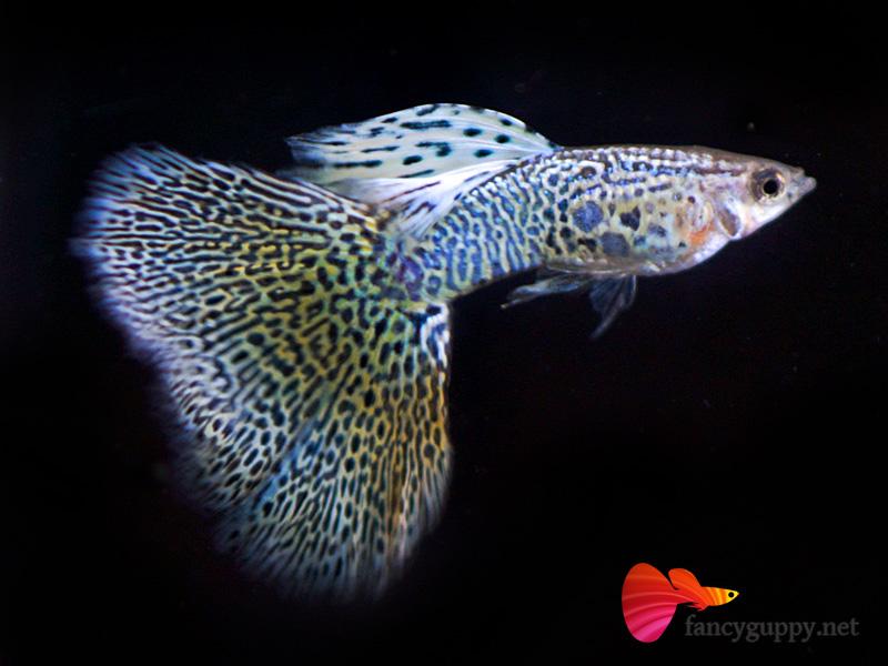 Albino yellow king cobra guppy fish 04 wei fancy guppy for Fancy guppy fish