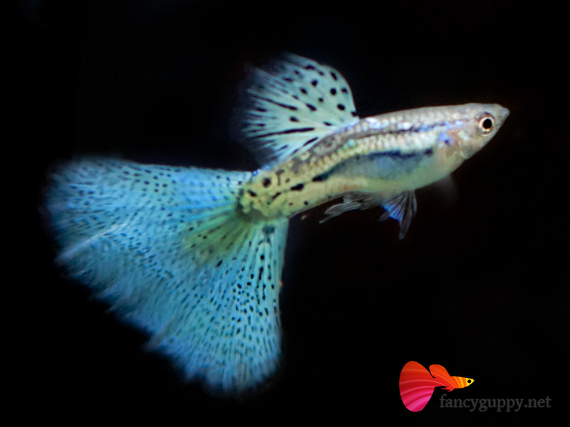 Penang Guppy for Sale Wei Fancy Guppy