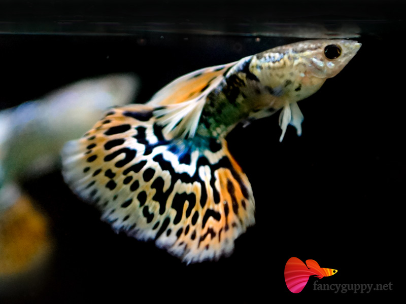 Image gallery mosaic guppy for Guppy fish for sale