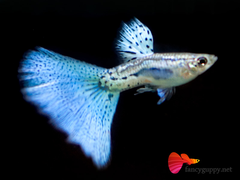 Penang Guppy for Sale | Wei Fancy Guppy