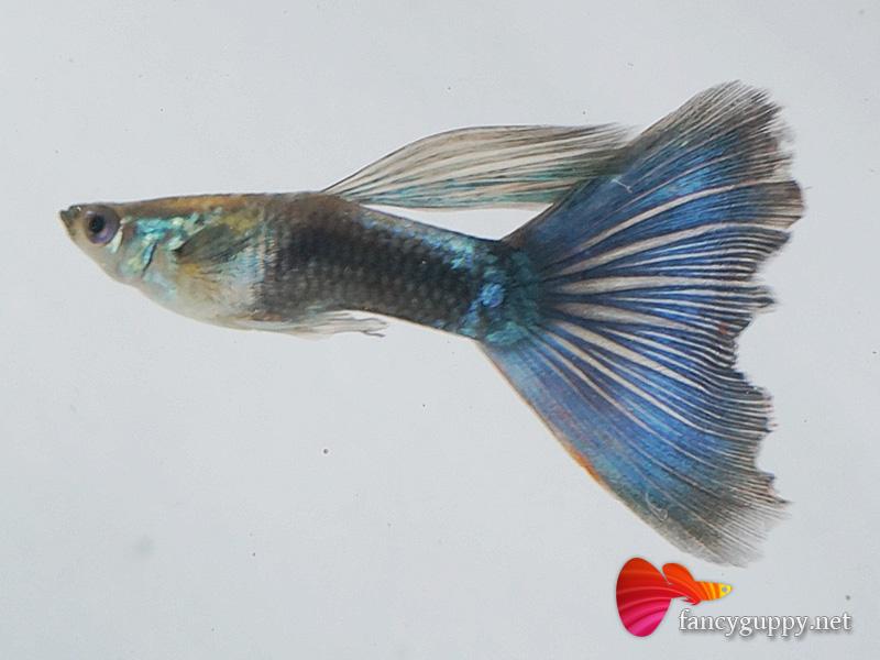 Blue tuxedo guppy fish 1 wei fancy guppy for Fancy guppy fish