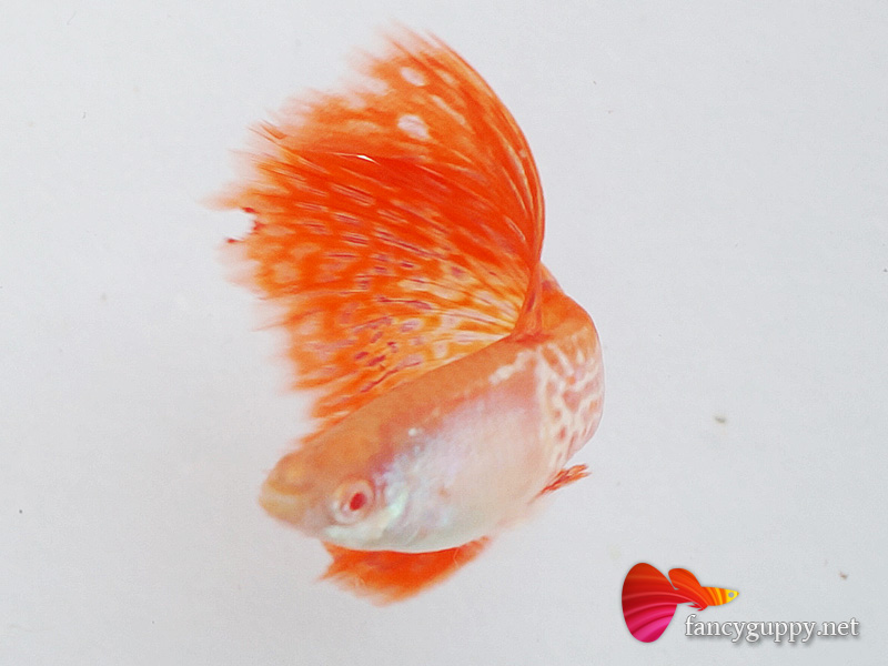 endler guppy price in india